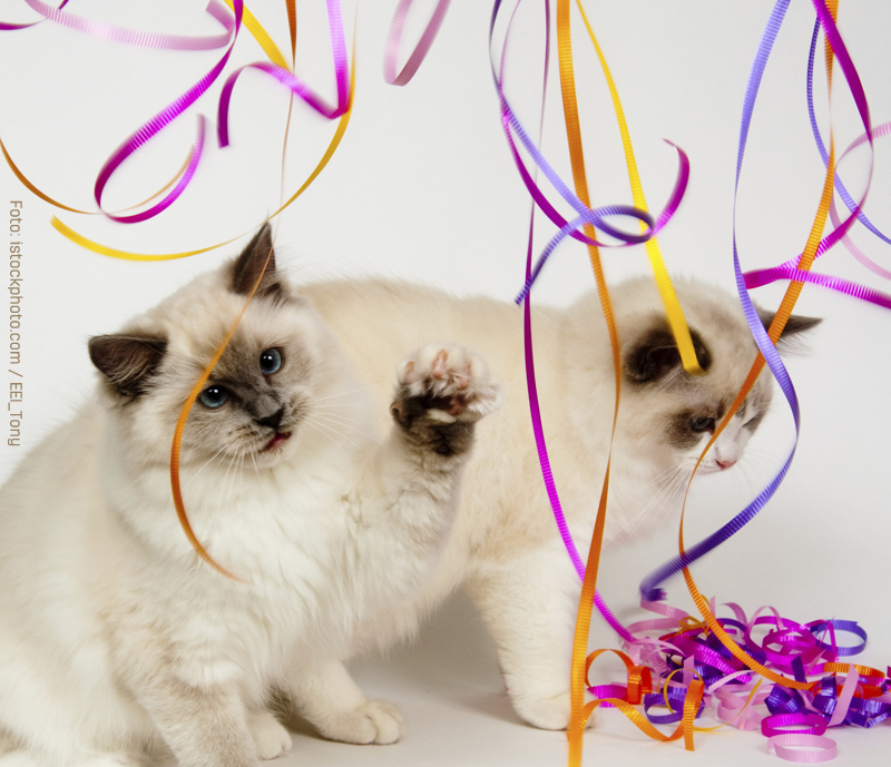 Ragdolls kittens playing with streamers